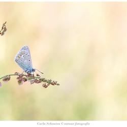Icarusblauwtje op zuring