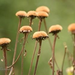 Verwelkte bloemen