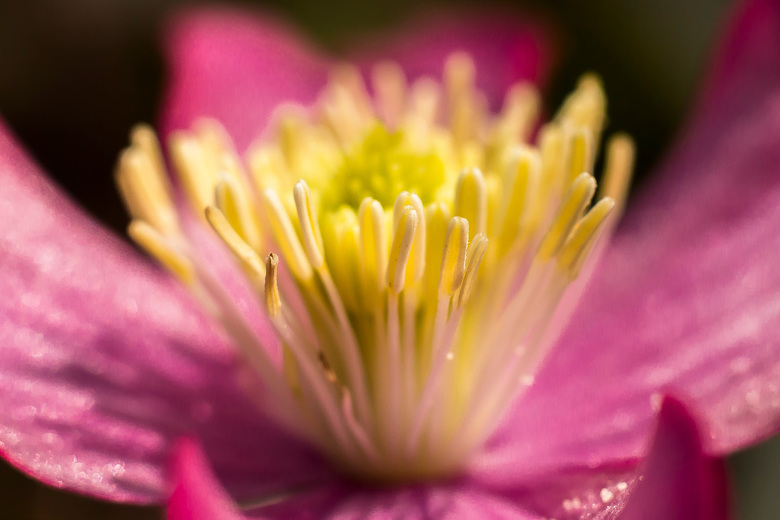 Clematis hart - Ineens zit er weer 1 bloem in onze clematis, dankbaar onderwerp voor een macro foto