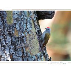 Grey Woodpecker, Kenia