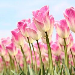 Roze met witte tulpen in de zon