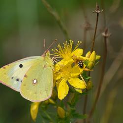 Zuidelijke Luzerne Vlinder.