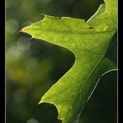 eikenblad