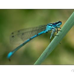 dragonflies eyes