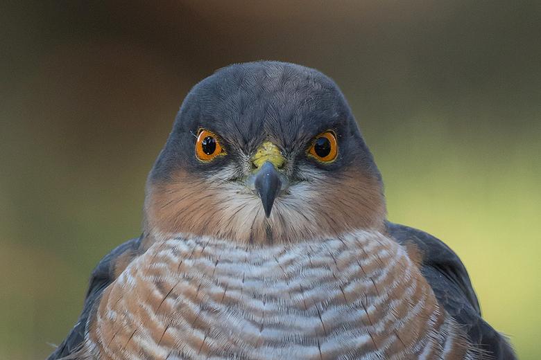 That look!! - Het is altijd weer een genot om zo'n prachtig mannetjes Sperwer vlak voor je lens te krijgen. Zeker als ie op 4 meter afstand je re