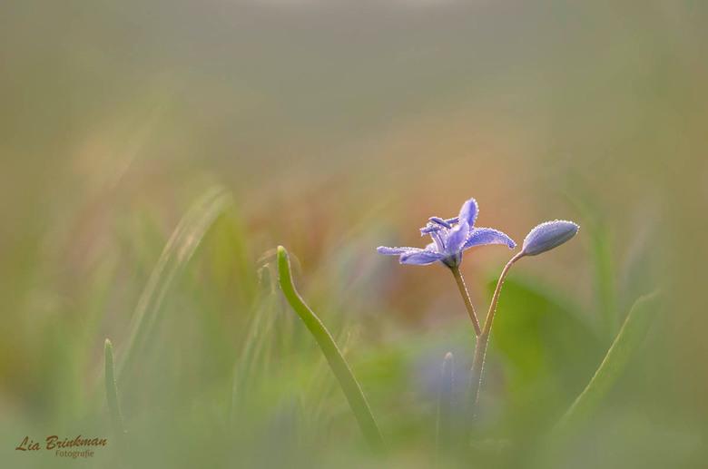 sterhyacint - Kleine sterhyacint in het arboretum wageningen.<br /> <br /> Deze foto heb ik gemaakt met mijn leencamera Nikon D7000 omdat mijn camer