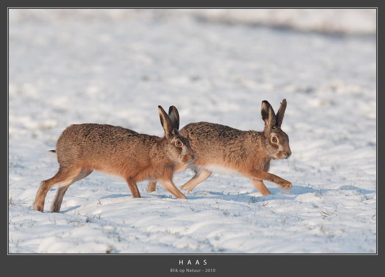 Hazen - Wat: Haas (Lepus europaeus), ook wel Europese haas genoemd. Dit koppeltje (man en vrouw) hebben zich afgezonderd van de grote groep en paren z