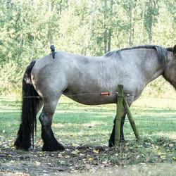 Belgisch paard aan het rusten