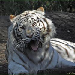 Witte tijger....