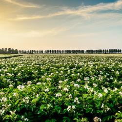 Aardappelveld in bloei