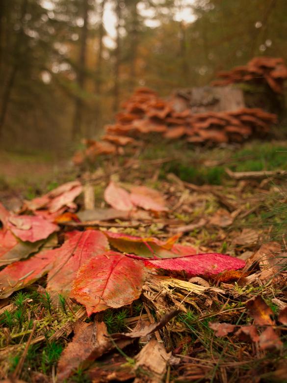 Herfstbladeren op de grond - Herfstbladeren op de grond, met zwammen in de achtergrond