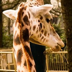 The giraffe watches