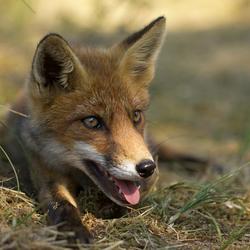 Portret van een jong vosje.