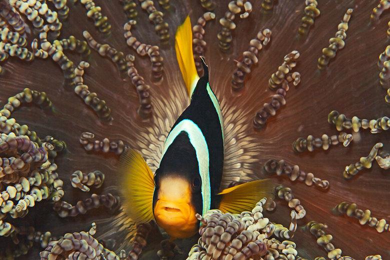 Maldives Anemone FIsh - Anemoonvis soort die alleen op de Malediven voorkomt.