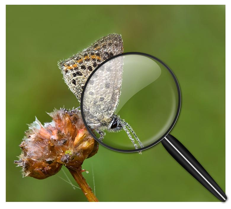 """Met een vergrootglas - Op zoek naar de vlinders <img  src=""""/images/smileys/smile-big.png""""/><br /> <br /> Uiteindelijk een bedauwde vuurvlinder gevon"""
