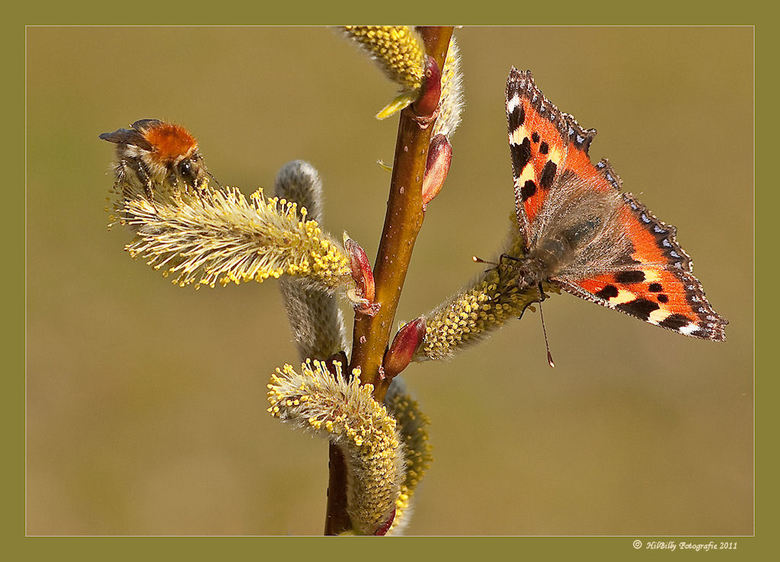"""Kleine Vos en Bijtje - gezellig samen op de Wilgenkatjes ... <img  src=""""/images/smileys/smile.png""""/><br /> M&#039;n eerste vlinder van dit jaar , de"""