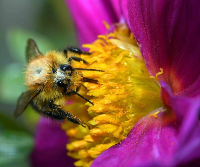 gulzig - Een overdadig gevulde tafel voor de weidehommel. Najaarsbloeiers kunnen gul zijn met stuifmeel en nectar.<br /> <br /> Bedankt voor alle re
