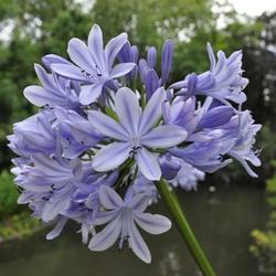 Blauwe bloem Artis