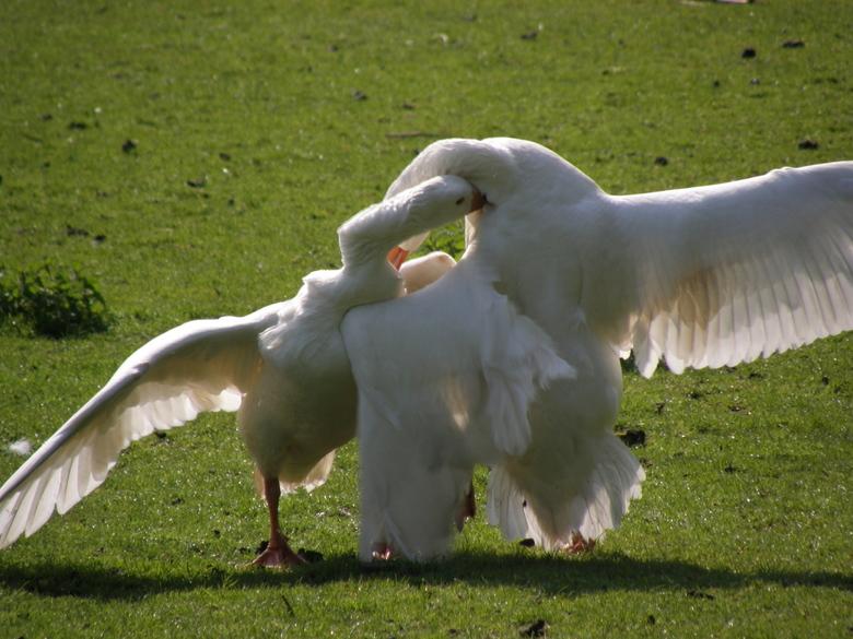 Goose fight 2 - Volgens mij mocht de ene gans de ander niet zo...