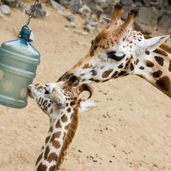 Giraffe - Goed voorbeeld doet volgen