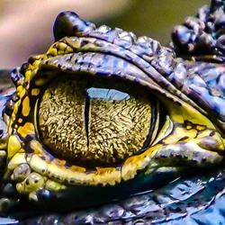 Oog van krokodil