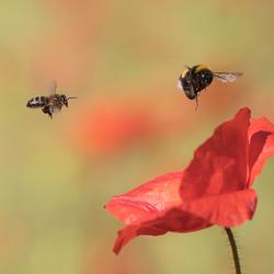 The Poppy race