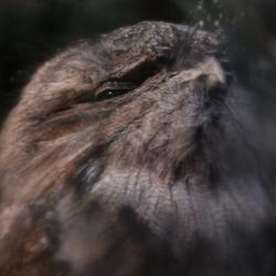 Deamy owl