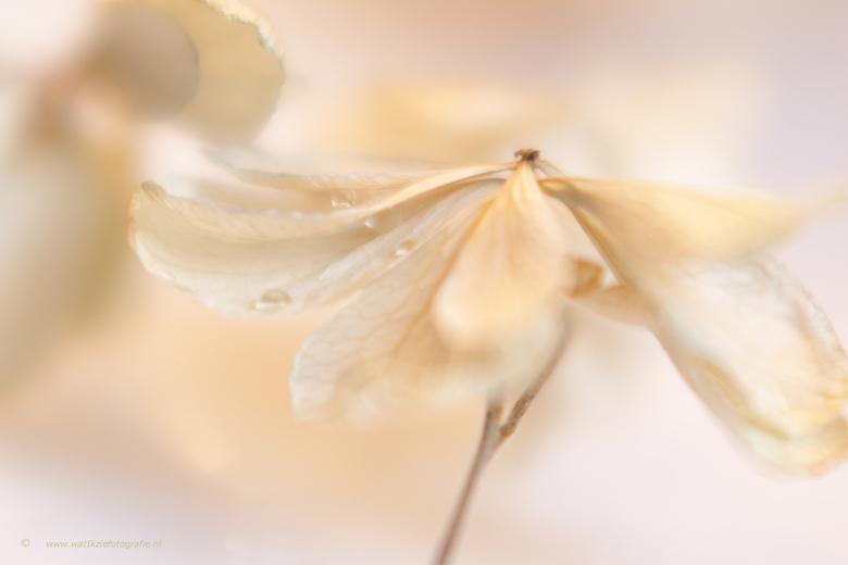 Hortensia.... - Een uitgedroogd hortensiabloem in de regen...<br /> <br /> <br /> <br /> Wat leuk toch iedere keer al die reacties, ik ben er elke