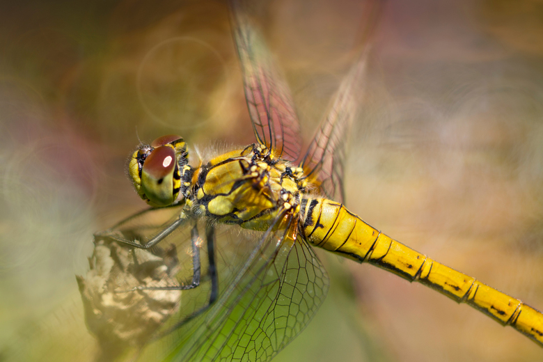 Dragonfly -