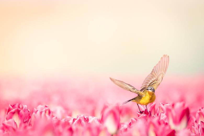 Gele kwikstaart - Gele kwikstaart in de roze tulpen. Door de mist/waterdruppels van de beregening, waar de zon op scheen, kwam er een mooie warme gloe