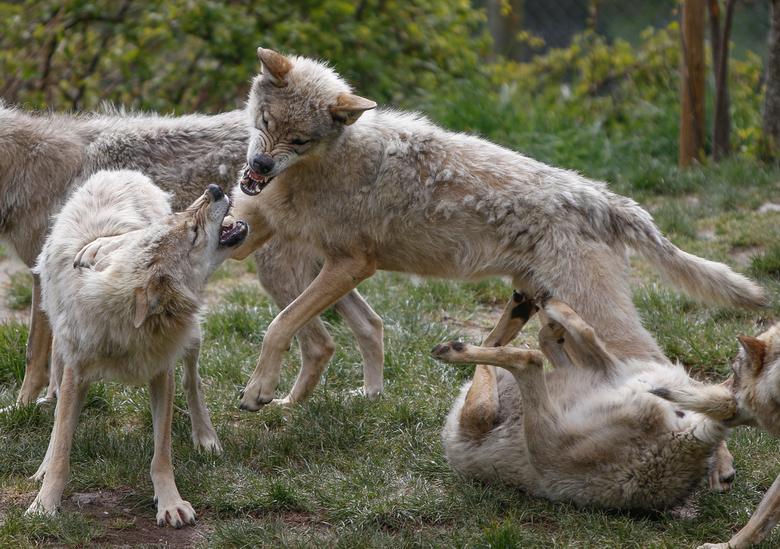 Just playing - Jonge Poolse wolven aan het spelen.