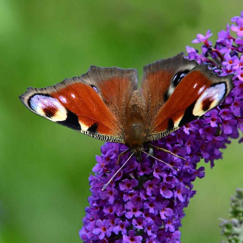 brandnetel-fan - Veel vlindersoorten worden in hun verspreidingsgebied beperkt door het voorkomen van hun waardplant. De waardplant oftewel de voedsel
