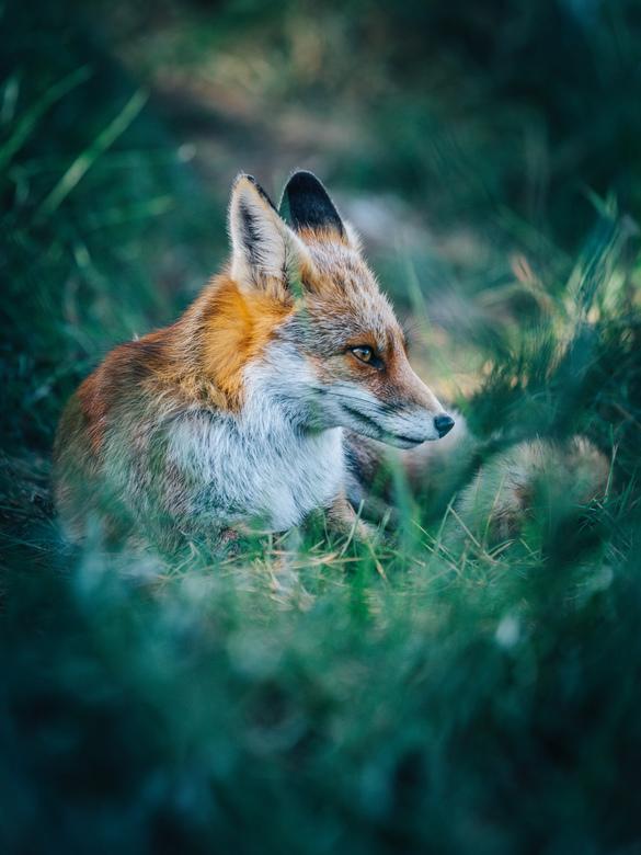 Fox. - Een prachtig moment in de Amsterdamse waterleidingsduinen.<br /> <br /> Volg me gerust op:<br /> https://www.facebook.com/ShotByCanipel/<br