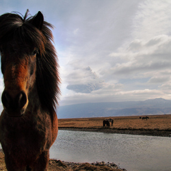 IJslands paard en Eyjafjallajökull-aswolk