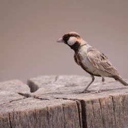 Sparrow Lark