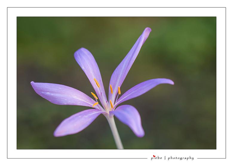 """Herfststijlloos - Deze prachtige bloem staat momenteel te bloeien in onze tuin.<br /> <br /> Groet  <a href=""""http://www.piebevandenberg.nl"""">http://w"""