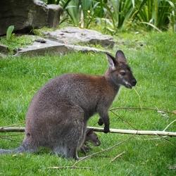 Kangaroo met jong