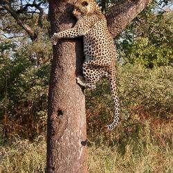 Leopard climbs tree