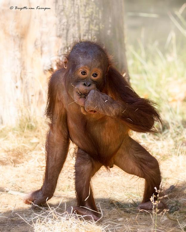 Fluffy - Deze pluizebol is ook een bewoner van de apenheul en al aardig nieuwsgierig -<br /> Orang Oetan