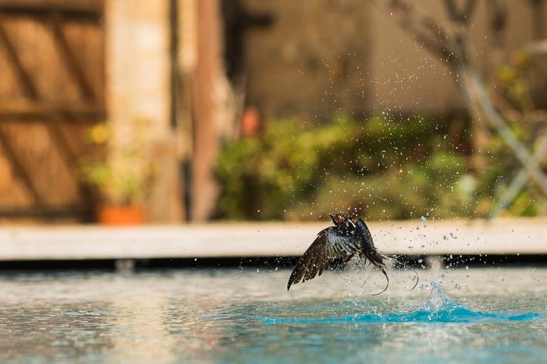 Boerenzwaluw zoekt verkoeling in het zwembad - Camera aan de rand van het zwembad opgesteld en geduldig wachten met afstandbediening in de hand