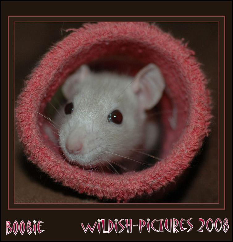 Boobie - Ons nieuwe ratje Boobie , om aan te geven hoeklein ze nog is , ze zit in een pols zweetbandje ...<br /> Tamme ratten zijn ontzettend lieve e