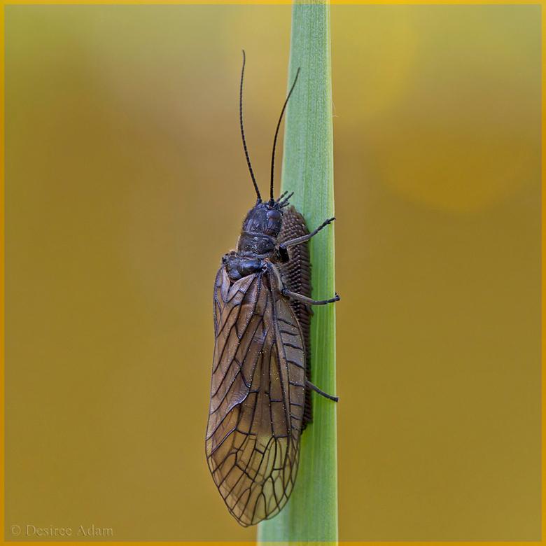 Slijkvlieg met eitjes - Zag deze slijkvlieg op een rietstengel in de vijver iets doen, kon door de camera niet goed zien wat. Dacht eerst aan een uits