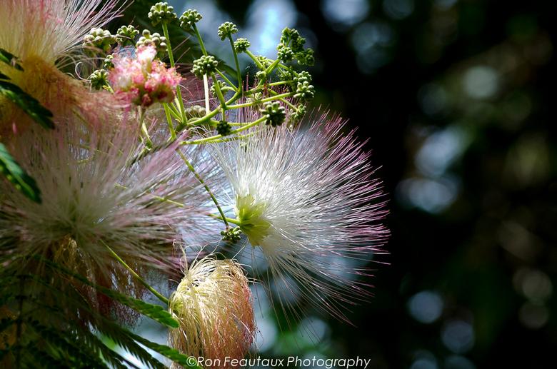 """Bloeiende **wie het weet mag het zeggen** in Tel Aviv - Prachtige bloesem aan een boom in  de tuin van """"Eetcafe Sonya Getzel"""" in Tel Aviv, I"""