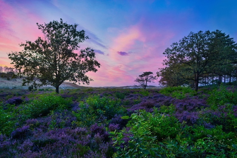 Schoorl Sunset HDR - End of August is the best time to see the full purple heather in Netherlands. Most goes to Posbank but I found this nice park jus