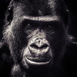 Gorilla @ Burgerszoo