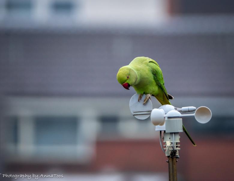 halsbandparkiet - Halsbandparkiet doet inspectie aan de windmolen.
