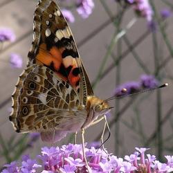 een distelvlinder in de tuin