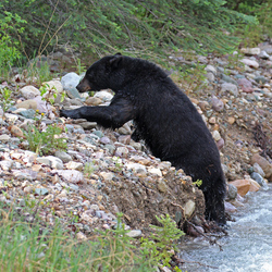 black bear climbing out the river
