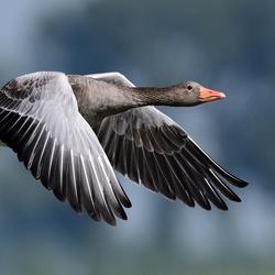 Vlucht van de grauwe gans