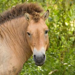 Prezwalski paard